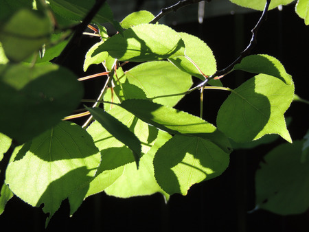 laevis: foliage of Ulmus laevis or European White Elm, Fluttering Elm, Spreading Elm, Russian Elm Stock Photo