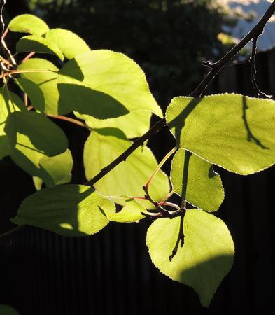 foliage of Ulmus laevis or European White Elm, Fluttering Elm, Spreading Elm, Russian Elm Stock Photo