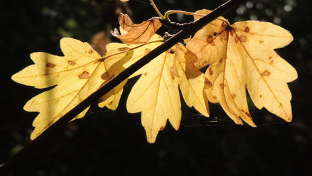 nervation: dry maple leaf of Acer campestre (field maple)