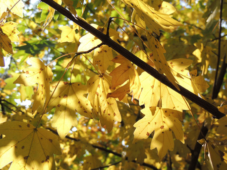 nervation: foliage of Acer campestre (field maple) in autumn Stock Photo