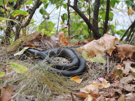 coldblooded: Grass snake (or ringed snake, or water snake or Natrix natrix) coiled in the grass of autumn forest