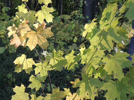 acer platanoides: foliage of Acer platanoides (Norway maple)