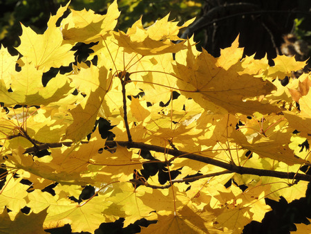 nervation: autumn foliage of Acer platanoides (Norway maple)