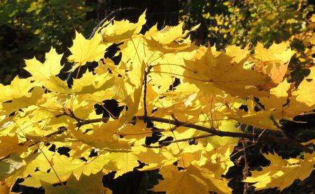 norway maple: September foliage of Acer platanoides (Norway maple)