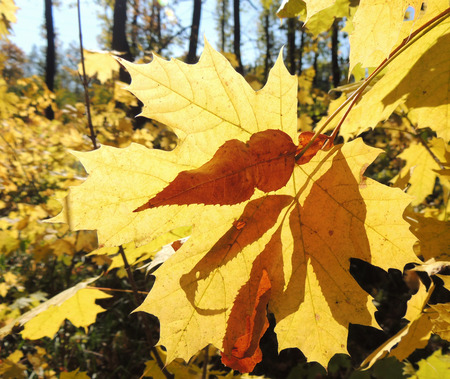 acer platanoides: autumn leaf of Acer platanoides (Norway maple) and shadow of leaf Ground elder (Aegopodium podagraria) on it