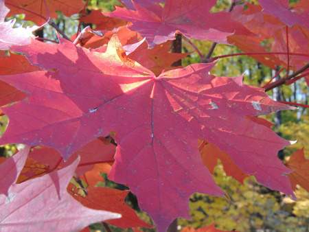 nervation: magenta leaf of Acer platanoides (Norway maple) in autumn