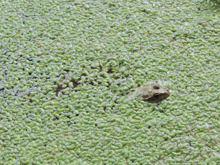 Moor frog (Rana arvalis) on a water surface covered with duckweed (Lemna)
