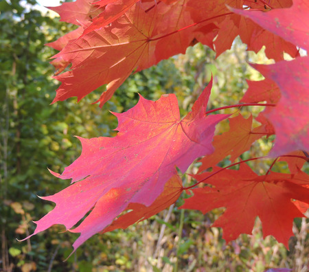 nervation: magenta foliage of Acer platanoides (Norway maple) in autumn