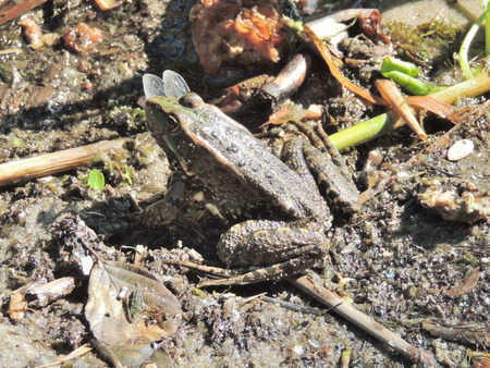rana arvalis: Moor frog (Rana arvalis) caught a dragonfly