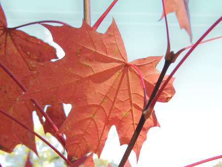 nervation: autumnal leaf of Acer platanoides (Norway maple)