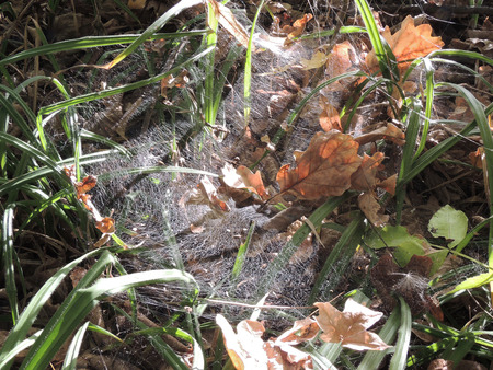 carex: cobweb on the leaves of a sedge (Carex) with fallen and got tangled dead oak leaves