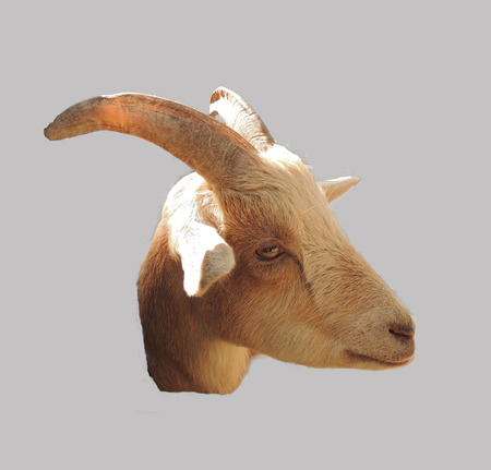 brown goat: horned head of a brown goat on a gray background