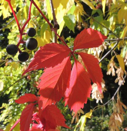 nervation: Fruits and foliage of Parthenocissus (Parthenocissus quinquefolia) Stock Photo