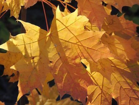 autumnal leaf of Acer platanoides (Norway maple) photo