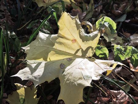 nervation: Dry leaf of Acer platanoides (Norway maple) on the ground. Spots on the leaf damaged by leaf miner larva