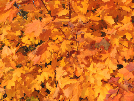 acer platanoides: Autumnal foliage of Acer platanoides (Norway maple)
