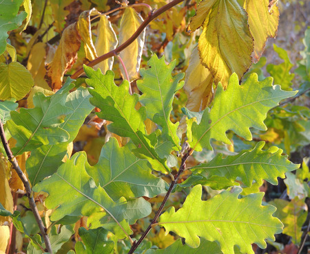english oak: Autumnal foliage of English oak or pedunculate oak or French oak (Quercus robur)