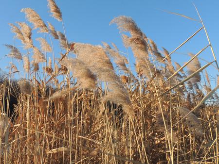 phragmites: seed head of Phragmites, the common reed