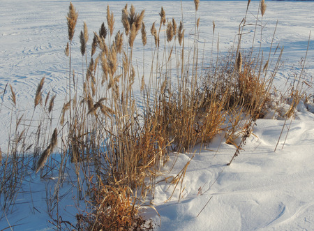 phragmites: Common reed (or Phragmites) and its seed head at winter Stock Photo