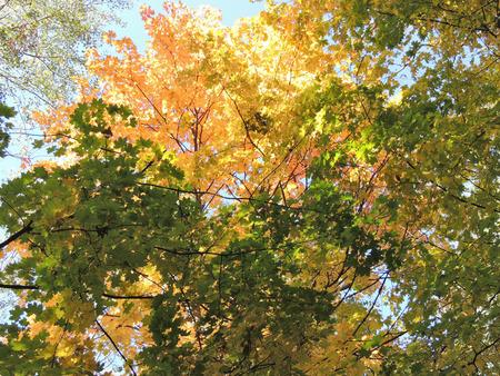 acer platanoides: Autumn tints of Acer platanoides (Norway maple) Stock Photo