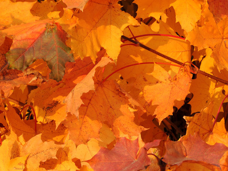 acer platanoides: Autumnal foliage of Norway maple (Acer platanoides) Stock Photo