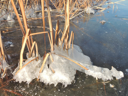 phragmites: Ice and crystals on the stems of Phragmites, the common reed