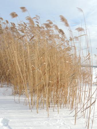 phragmites: Phragmites, the common reed, in winter windy weather Stock Photo