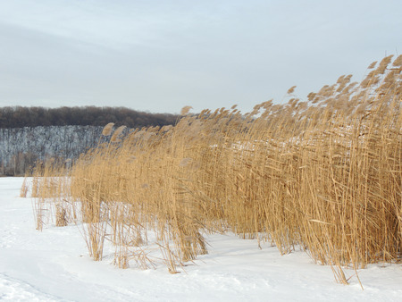 phragmites: Phragmites, the common reed, on river bank in winter