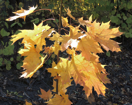 acer platanoides: autumn leaves of Norway maple (Acer platanoides)