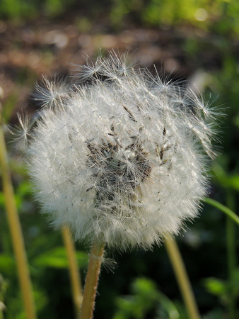 taraxacum: Common dandelion (Taraxacum officinale) with seeds Stock Photo