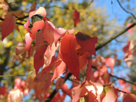 nervation: Autumnal shades of red on wahoo leaves (Euonymus verrucosus) on a background of sky and foliage of trees