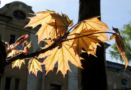 acer platanoides: Sunlighted leaves of Norway maple Acer platanoides at springtime against the sky