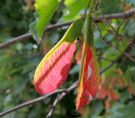 acer: Fruit of Tatar Maple Acer tataricum or Tatarian Maple closeup Stock Photo