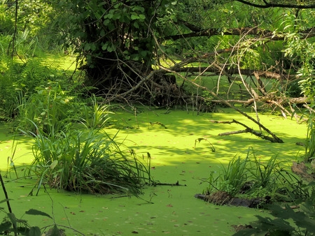 rushy: A freshwater swamp at a summers day