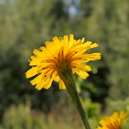 hawkweed: Flower of decorative plant Common Hawkweed Hieracium lachenalli of Cichoireideae in the meadow Stock Photo