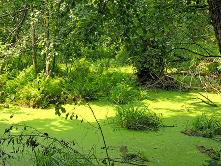 rushy: A freshwater swamp in the forest