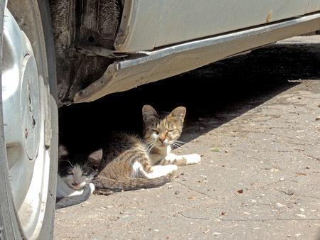 in somnolence: Kittens taken refuge under the car on a hot day
