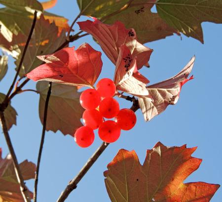 guelderrose: Guelder-rose, or water elder, or cramp bark, or snowball tree and European cranberrybush Viburnum opulus with fruit Stock Photo