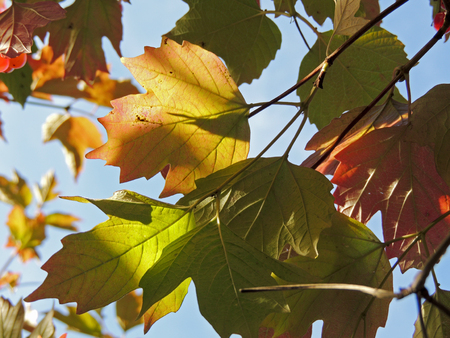 guelderrose: Leaves of guelder-rose, or water elder, or cramp bark, or snowball tree and European cranberrybush Viburnum opulus
