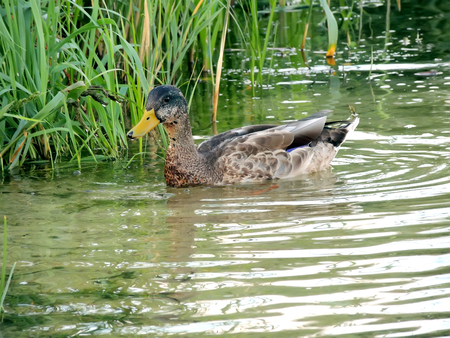 wild duck: Young wild duck floating in the aquatic vegetation