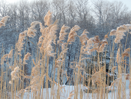 phragmites: Phragmites or the common reed on the background of winter forest