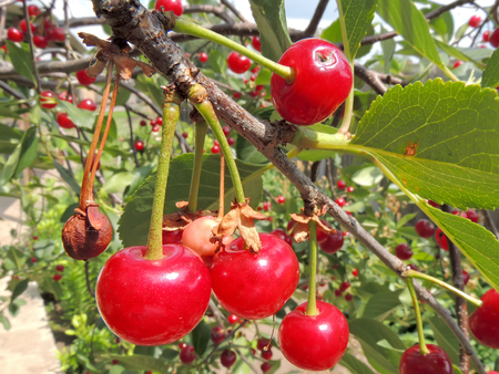 drupe: Fruits of sour cherry, or dwarf cherry, or tart cherry, or wild cherry, or Prunus cerasus