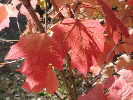nervation: Red colours of Norway maple, or Acer platanoides leaves