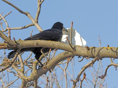 corvus: Rook (Corvus frugilegus) with a piece of paper on the balsam poplar (Populus balsamifera)