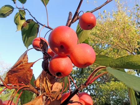 crab apple tree: Fruits of crabapple tree (or plumleaf crab apple, or plum-leaved apple, or pear-leaf crabapple, or Chinese apple, or Chinese crabapple, or Malus prunifolia) hanging on a branch