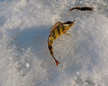 perca: Freshly caught river perch (or European perch, or redfin perch, or English perch, or Perca fluviatilis) on the river ice