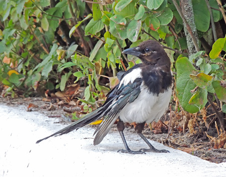 pica: Look seedy Eurasian magpie or common magpie (Pica pica)
