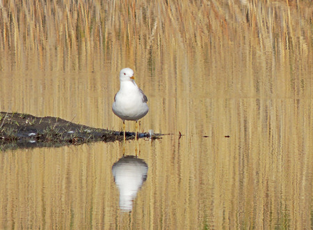 mew: Common gull, or mew gull (Larus canus) on the pond among the reeds