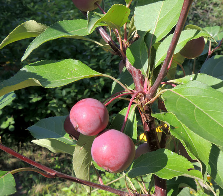 crab apple tree: Fruits of plumleaf crab apple (or crabapple tree, or plum-leaved apple, or pear-leaf crabapple, or Chinese apple, or Chinese crabapple, or Malus prunifolia) hanging on a branch