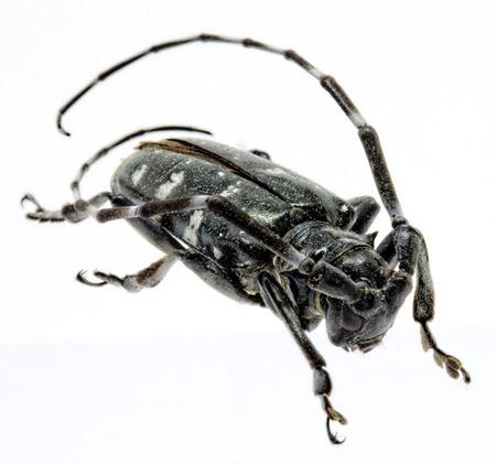 Adult Asian Longhorned Beetle, or starry sky, or sky beetle, or ALB, or Anoplophora glabripennis